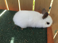 netherland dwarf crossed with holland min lops