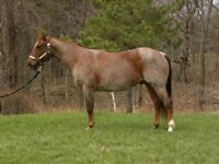 AQHA Red Roan gelding for sale.