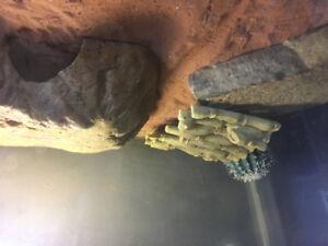 Leopard gecko lizard selling with tank