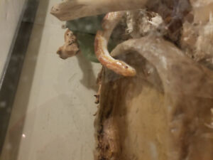 7 yr old Abino Corn snake for sale