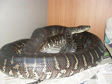 bredli carpet python Wangoom Moyne Area Preview