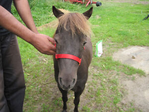 Partial Herd Dispersal of Miniature Horse Mares Kawartha Lakes Peterborough Area image 7