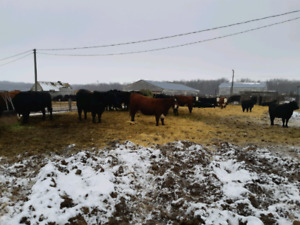 Bred cows and Heifers for Sale