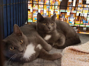 Bonded Pair for adoption- neutered, vaccinated, microchipped
