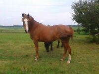 Pretty Large Pony for Sale