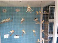 Diamorphic canaries job lot/red poles