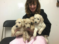 Beautiful Goldendoodle pups