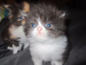 vends Chatons persans