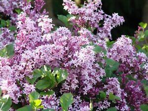 Syringa Palibin Dwarf Lilac Fragrant Shrub