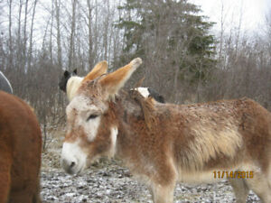 Breeding Donkey Jack