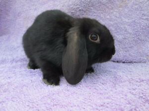 Free Lop eared black bunny with cage-Sorry she is PPU