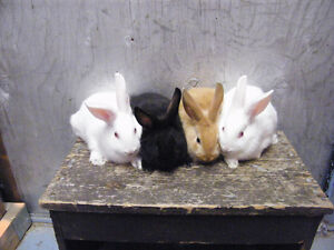 New Zealand Rabbits[Breeders and Babies]