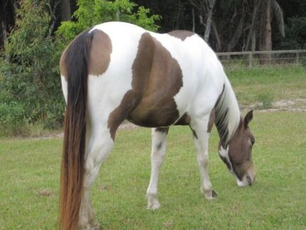 STUNNING SUPER QUIET BUCKSKIN/WHITE TOBIANO FILLY IMP SIRE Upper Coomera Gold Coast North Preview