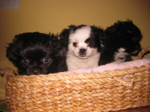 THREE LOVELY, FLUFFY POM/CHIS NEED HOMES!