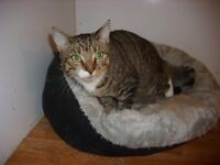 BOOKED*******. Gentle friendly Tabby