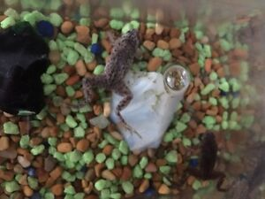 African dwarf frogs (2)