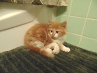 One Left.... Beautiful mix persian kitten need forever home