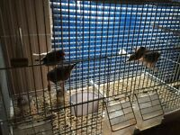 Baby Zebra finches for sale