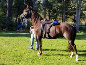 Morgan gelding - can be trailed to southern Ontario Nov 15
