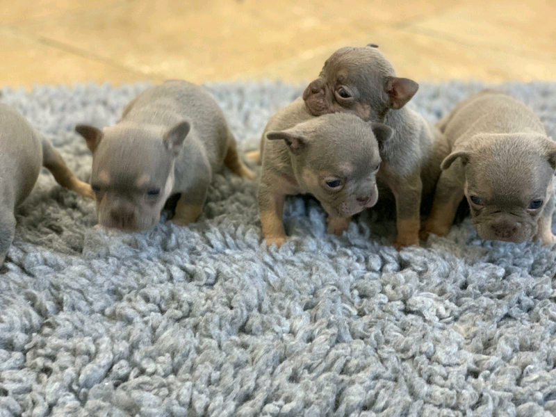 REDUCED Lilac tan french bulldog pups for sale