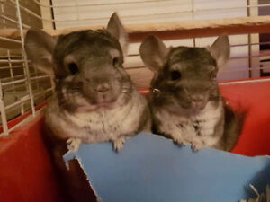 VOLCANIC ASH GREY CHINCHILLAS  (REHOMING THE PAIR)