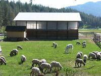 Homegrown Lambs 4-Sale