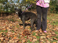 Duke of Hudson is a 2 year old, male, black lab mix