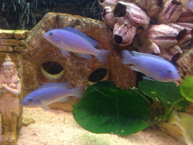 Blue Zebra Island Lodge  Cichlids