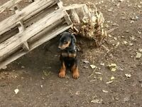 Doberman Puppies ready to go!  ONLY 3 Females left!!!!