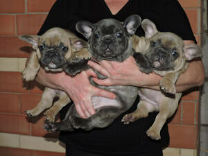 ❤️ Registered French Bulldog Puppies ❤️ Available