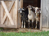 Looking for a good home for our Nanny goats/does