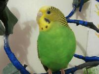Yellow/Green Budgie