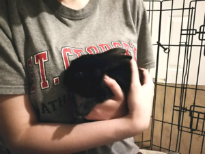 Baby bunny for adoption/foster