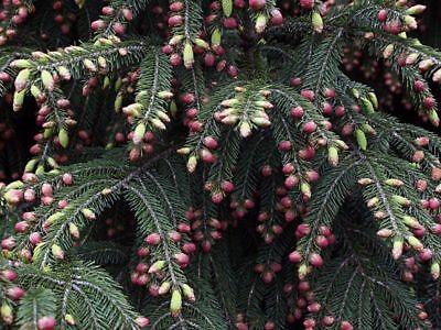 100 WILSON SPRUCE TREE * SEEDS * EVERGREEN CHRISTMAS SEEDLINGS PLANT BONSAI