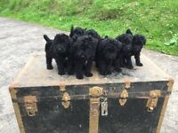 8 Kerry Blue pups for sale Full K.C Registered