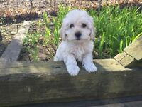 Toy Size Maltipoo Puppies (Maltese x Toy Poodle) m/f's