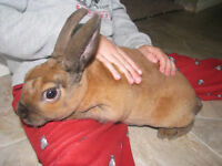 Young Male Rex Rabbit - delivery saturday