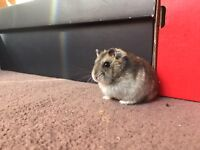 Two fully tame 6 month old Russian Dwarf Hamsters with complete set up
