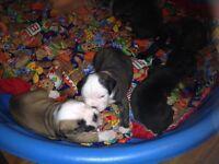 Olde English bulldog puppy for sale