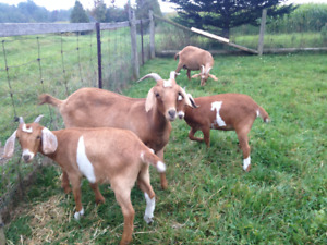 4 Goat Does for sale