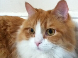 Lost Cat - Sherburn St between Portage Ave and St Matthews