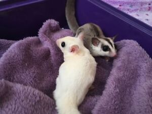 Beautiful White Face And Leucistic Gliders