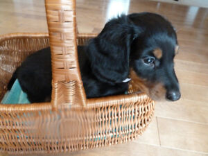 Sweet longhair Dachshund puppies