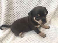 Blue chihuahua puppies for sale