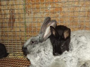 Quality Pedigree Champagne d'Argent and Coloured NZ rabbits