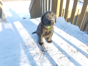 Silver/charcoal lab puppies