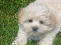 Malshi Puppies (Maltese ShihTzu cross) Great mix