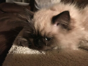 Male Ragdoll kitten