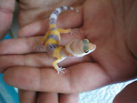 Magnifique bébé gecko léopard a vendre!