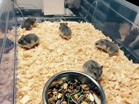 Young dwarf hamsters for sale just for $5 each.
